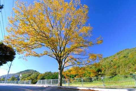 下阿古谷の大ケヤキ(2006.11.15)